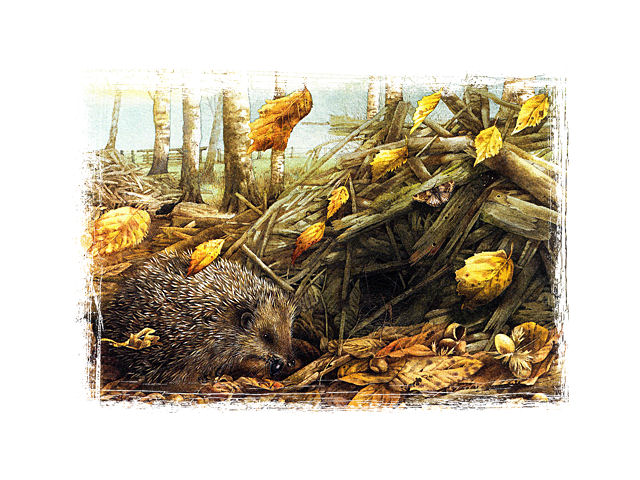 mb nature sketches autumn hedgehog med2